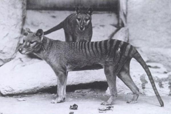 Thylacinus (Tigre de tasmania)
